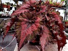 "begonia pflanze indian summer 6"" topf rex groß selten"