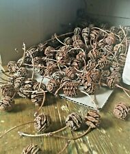 Dawn Redwood Pinecones Seed Pods 200 pieces