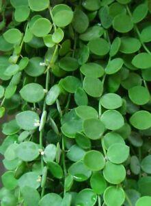 Dischidia nummularia     10 seeds