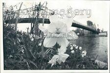 1980 Roosevelt Island Daffodil & Queensboro Bridge New York City Press Photo
