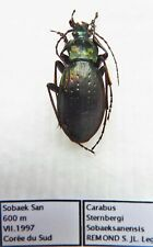 Carabus carabus sternbergi sobaeksanensis (male A1) from SOUTH KOREA