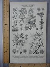 Rare Antique Original VTG Saxifraginen Rockfoils Plant Illustration Art Print