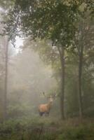 Red Deer Stag in Foggy Autumn Forest Photo Art Print Mural Poster 36x54 inch
