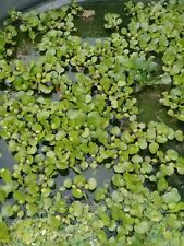 Water Hyacinth Floating (No Need For A Pot ) Small