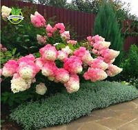AA 50Pcs Vanilla Strawberry hydrangea Flower Seeds for home planting perennial