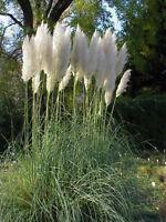 300 Samen Cortaderia selloana weiße Feder, Pampasgras, Silber-Pampasgras