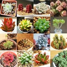 150pc Rare Mixed Succulent Seeds Lithops Living Stones Plants Cactus Home Garden