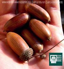 QUERCUS ROBUR 5 bellotas semillas seed Roble inglés
