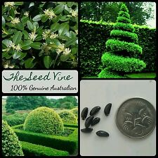 10+ ENGLISH BOXWOOD SEEDS (Buxus sempervirens) Boundary Hedge Design Decoration