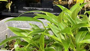 "Philodendron var. ""Mini Midget"", True Dwarf Variety! Perfect for Terrariums"