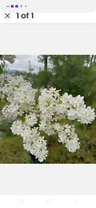 Bare Root Lilac Bush White JUMBO Size  (5) with planting instructions -