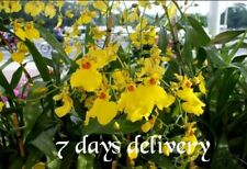 """Orchid Plants Oncidium Dancing-lady orchid Golden shower orchid, 1"""" In Pot"""