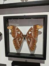 Framed Atlas Moth Butterfly