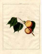 Antique Print-APRICOT-PRUNUS-Pomologia-Knoop-1758
