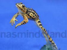 New Yujin amphibian toad Dark-spotted frog secret sp Figure figurine RARE