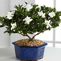 100pcs Gardenia CAPE JASMINE Jasminiodes White Shrub Flower Seeds Plant Garden s