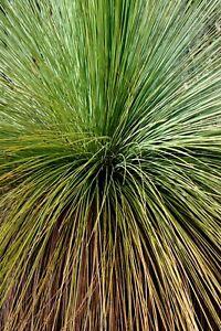 Grass Tree Seeds (Xanthorrhoea preissii) Balga Native 25 Seed Pack