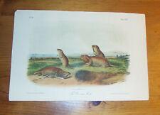 Audubon. Quadrupeds. Octavo. The Camas Rat.