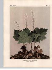 1934 Wildflower Book Plate Foamflower Early Saxifrage & Virginia Stonecrop
