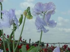 Sweet Pea - Charlie's Angel - 25 Seeds