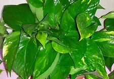Ten long Golden Pothos Rooted Starter Plant Vines (Epipremnum aureum)