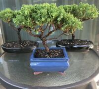 Japanese Juniper Bonsai Tree - 8 Year Old Real Tree - Indoor/Outdoor Plant