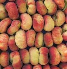 Prunus persica Platt color pesca rosso Saturn 60-80cm