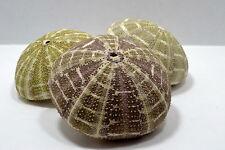 4+ inch Alfonso Sea Urchin Seashell Wedding Decor Nautical Shell Party Display