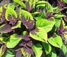 COLEUS CHOCOLATE SPLASH Solenostemon Scutellarioides - 40 Bulk Seeds