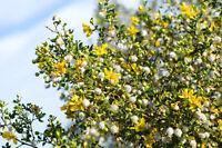 ** Auch große Trockenheit kann dem Chaparralstrauch nichts anhaben-Strauch Samen