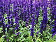 Blue Sage (Salvia farinacea) x 20 seeds Non-stop purple in your garden