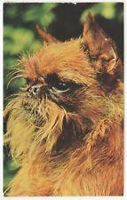 Griffon Belge Bruxellois - dog postcard