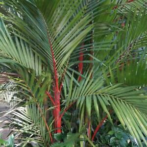 Cyrtostachys Renda - 10 / 50 Fresh Seeds -  Red Sealing Wax Palm / Lipstick Palm