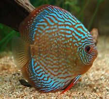 "x2 ROYAL BLUE DISCUS PACKAGE 2"" - 3"" EACH - TANK RAISED - FREE SHIPPING"