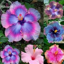 Hibiscus Mixed Colors Giant Seeds Potted Plant Perennial Flowers Rose Big Bloom