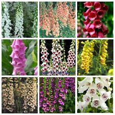 20 Foxglove Flower Seeds Digitalis Rare 14 Kinds Beautiful Bright Garden Plants