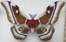 Bunaea aslauga Kirby, 1877 male ex. ovo Madagascar 130mm4b