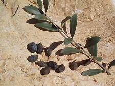 50 Organic Fresh seeds Olive Olea Europaea From Jerusalem Israel Holy land  זית