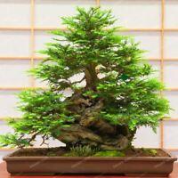 30pcs/bag Coast Redwood Sequoia Sempervirens Bonsai Tree Tree Seeds Bonsai Tree