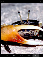 6 Live Fiddler Crabs From Crabby Chuck's Crabs Freshwater Aquarium