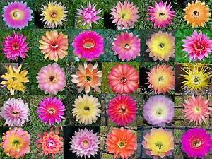 50 Kakteen Kaktus Samen Echinopsis Hybriden Schick MEX BEX fresh seeds Zucht