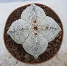 Astrophytum myriostigma onzuka quadricostatum