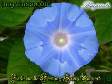 Blueprints Japanese Morning Glory 6 Seeds