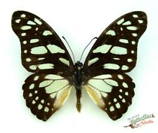 veined swallowtail butterfly Graphium leonidas Set x1 Ts A- M display art Africa
