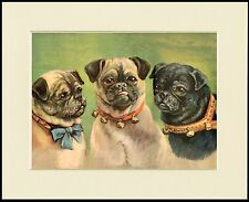 PUG THREE DOGS HEAD STUDY LOVELY DOG PRINT MOUNTED READY TO FRAME