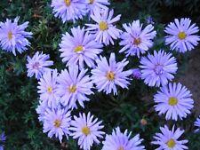 Pflanze/Blume/Staude Aster blau.