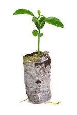 3 Valencia Orange Tree Live Plants Citrus Sinensis Starter Plugs Small Plant