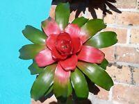 Neoregelia King's Ransom Bromeliad one tropical plant