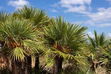 Chamaerops Humilis / Dwarf Fan Palm in 1.5L Pot, With Mass of Fan-Shaped Leaves