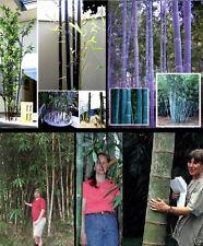 winterfestes Bambus-Sortiment mit schwarzen & blauen Stämmen: Sehr schön ! Samen